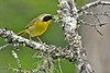 CommonYellow-throat-CranberryGladesWV-6-11-17-SJS-005