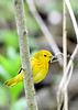 YellowWarbler-MageeMarsh-5-12-19-SJS-002