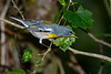 NorthernParula-EmeraldaMarsh-4-24-20-SJS-002