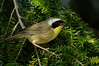 CommonYellowThroatWarbler-002