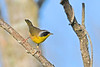 CommomYellowThroat-LAWD-9-7-18-SJS-006