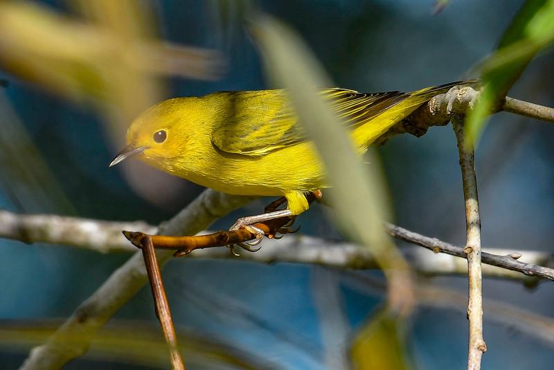 YellowWarbler-LAWD-9-11-20-sjs-003