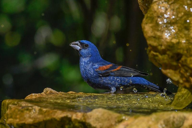 BlueGrosbeak-FortDeSoto-4-22-19-SJS-007