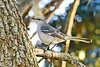 NorthernMockingbird-LYE-12-7-2018-SJS-001