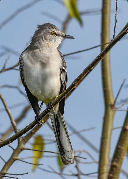 NorthernMockingbird-LAWD-11-8-19-SJS-001