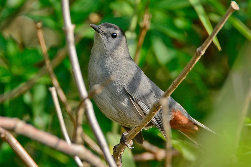 GrayCatbird-LAWD-ClayIsland-SJS-06