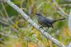GrayCatbird-HamptonVA-9-30-19-SJS-004