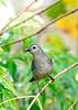 GrayCatbird-LakeCoFl-1-2-17-SJS-005