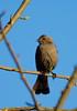CowBird(female)-02