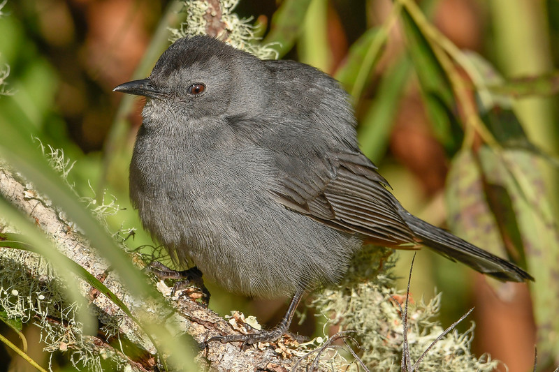 GrayCatbird-EmeraldaMarsh-11-13-19-SJS-005