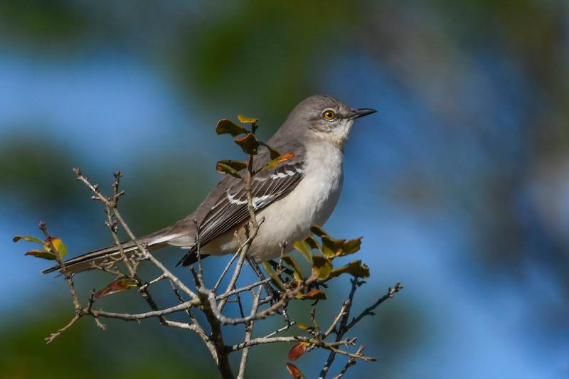 NorthernMockingbird-OcalaNF-1-28-20-SJS-001