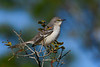NorthernMockingbird-OcalaNF-1-28-20-SJS-001