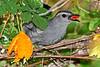 GrayCatbird-LAWD-11-9-18-SJS-007