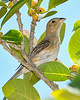 BlueGrosbeak(female)-FortDeSoto-5-6-20-SJS-02