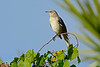 NorthernMockingbird-MerrittIslandNWR-FL-1-10-17-SJS-01