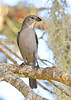 Brown-HeadedCowbird-LYE-FL-10-17-18-SJS-001