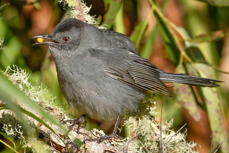 GrayCatbird-EmeraldaMarsh-11-13-19-SJS-002