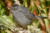 GrayCatbird-EmeraldaMarsh-11-13-19-SJS-002
