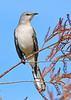 Mockingbird-LAWD-ClayIsland-1-9-19-SJS-002