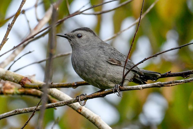 GrayCatbird-EmeraldaMarsh-10-10-19-SJS-002