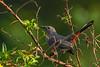 GrayCatbird-LAWD-11-8-19-SJS-001