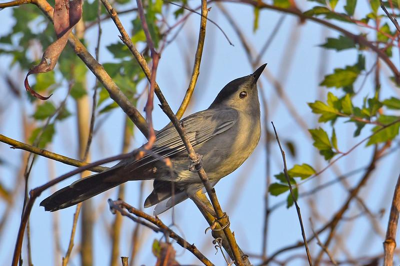GrayCatbird-EmeraldaMarsh-10-10-19-SJS-001