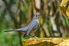 GrayCatbird-FortDeSoto-4-22-19-SJS-002