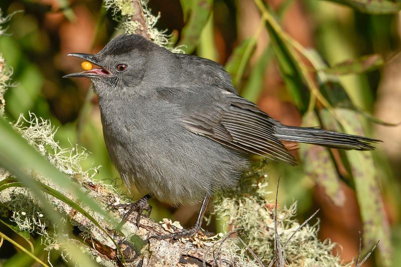 GrayCatbird-EmeraldaMarsh-11-13-19-SJS-001