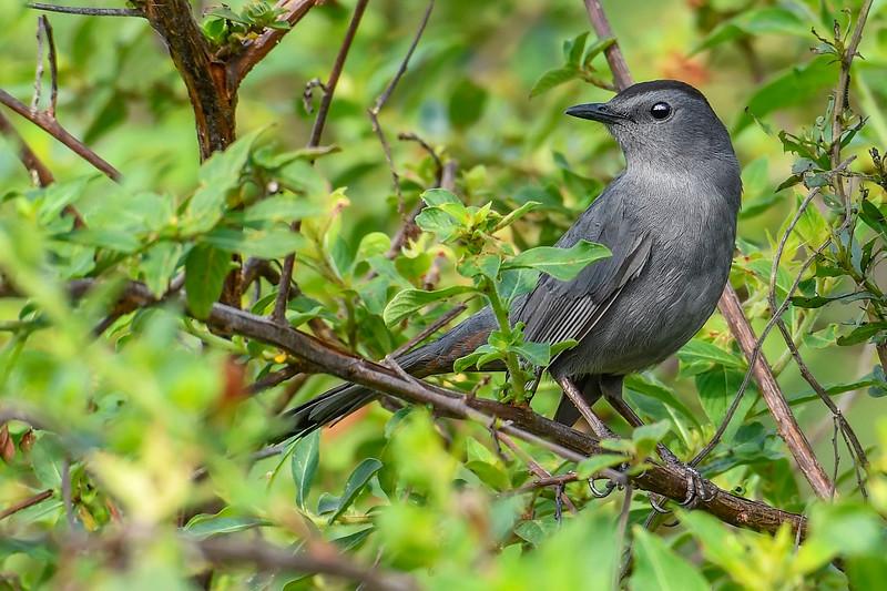 GrayCatbird-MerrittIslandNWR-2-18-19-SJS-005