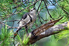 NorthernMockingbird-OcalaNF-9-4-18-SJS-001
