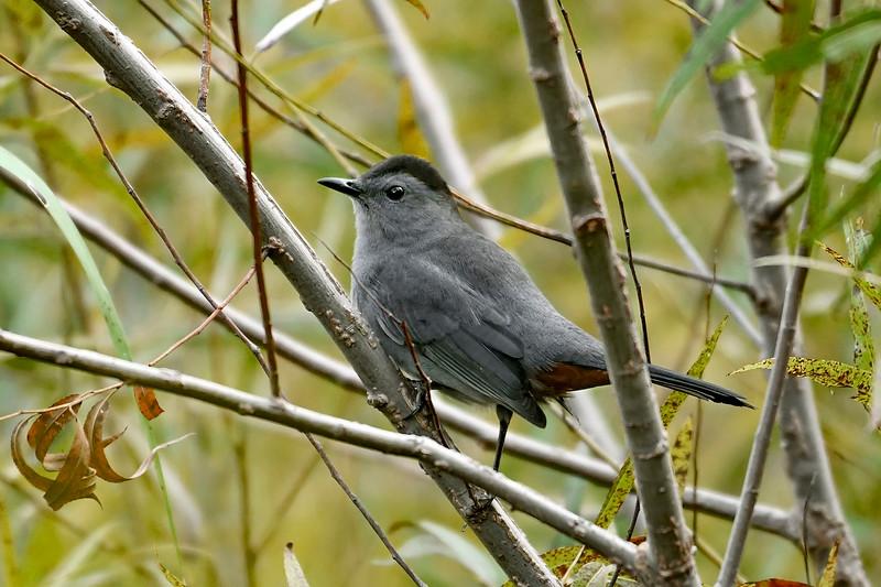 GrayCatbird-HamptonVA-9-30-19-SJS-001