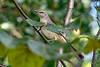 NorthernMockingbird-BourlayNatureParkFL-10-15-19-SJS-001