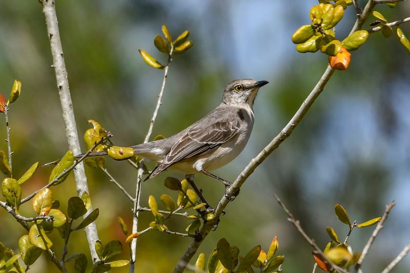 NorthernMockingbird-PineMeadowsCA--2-28-19-SJS-002