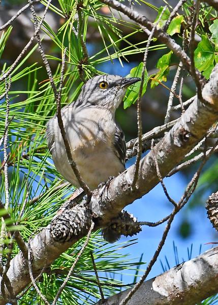 NorthernMockingbird-OcalaNF-9-4-18-SJS-002