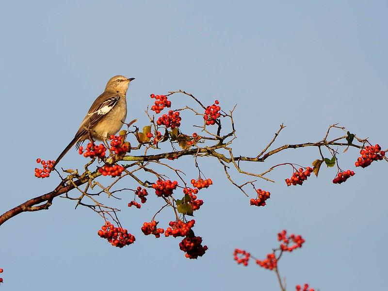 Mockingbird-2013-001