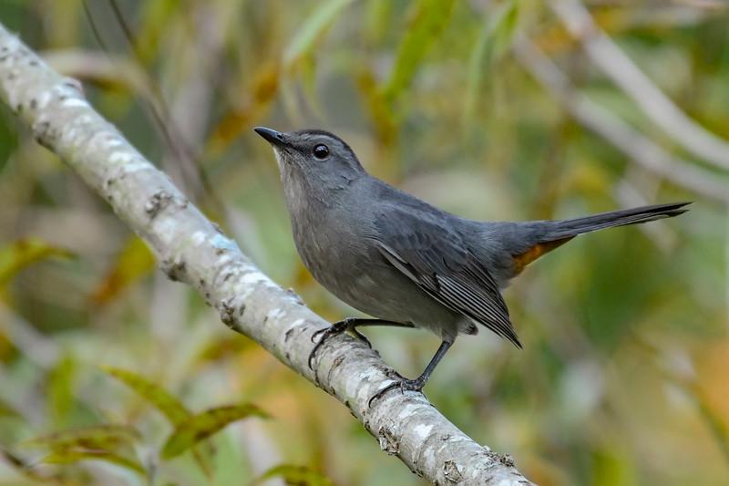 GrayCatbird-HamptonVA-9-30-19-SJS-003