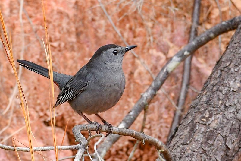 GrayCatbird-OcalaNF-1-29-20-SJS-003