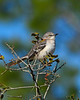 NorthernMockingbird-OcalaNF-1-28-20-SJS-002