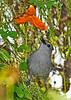 GrayCatbird-LAWD-11-9-18-SJS-006