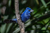 BlueGrosbeak-FortDeSoto-4-22-19-SJS-008