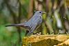 GrayCatbird-FortDeSoto-4-22-19-SJS-003