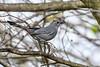 GrayCatbird-LAWD-12-29-18-SJS-001