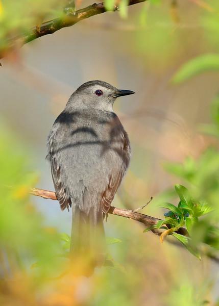GrayCatbird-LAWD-ClayIsland-SJS-14