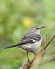 NorthernMockingbird-PineMeadowsCA-12-13-20-sjs-001