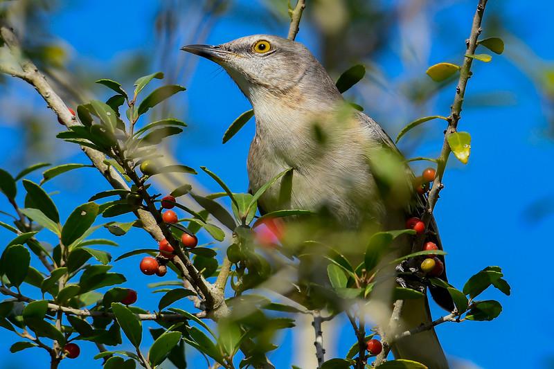 Mockingbird-OaklandNaturePreserve-11-21-19-SJS-001