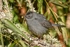 GrayCatbird-EmeraldaMarsh-11-13-19-SJS-003