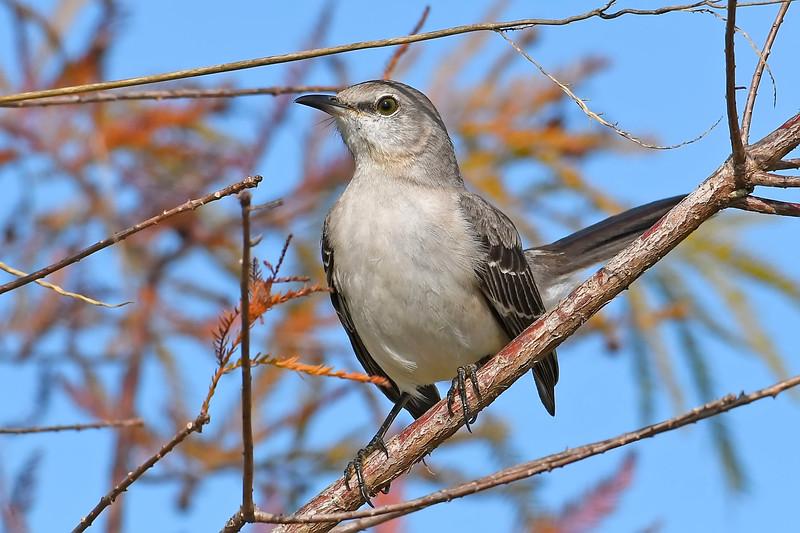 Mockingbird-LAWD-ClayIsland-1-9-19-SJS-001