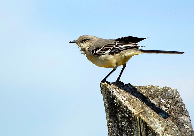 Mockingbird-sjs-002