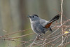 GrayCatbird-PineMeadows-1-12-20-SJS-001