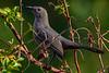 GrayCatbird-LAWD-11-8-19-SJS-002